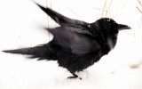 Raven Shakes off Snow