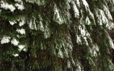 Snow Falls Over Pines