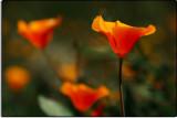 Poppies Near Arvin, California