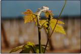 New Grapes