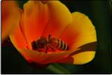 Poppy with Honey Bee