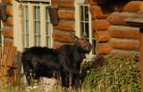 House Moose, Near Wilson, Wyoming
