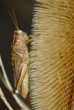 Grasshopper, Thistle, Near Wellsville, Utah