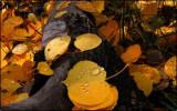Autumn Leaves, Teton National Park