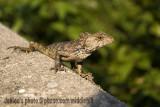 Lizard - 2226