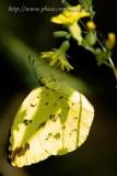 Common Grass Yellow  ¼eÃä¶À¯»½º - 042