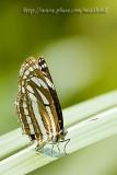 Hoi Ha - Butterfly 097