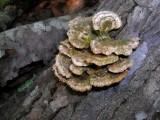 Polypore species?