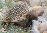Echidna - I'm not sure about this.