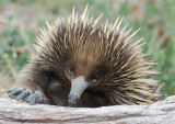 Echidna - This is a little tricky.