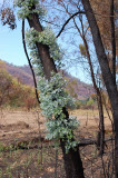 Eucalyptus recovery after bushfire.