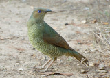 Female Satin Bower Bird - through the window.