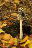 Magpie Fungus, Coprinus picaceus