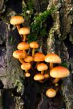 Brick Caps, Hypholoma sublateritium