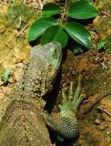 hm ... Iguana