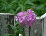 hm   Phlox by a Rustic Fence