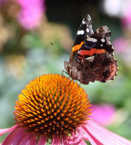 hm   Red Admiral Butterfly