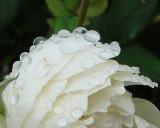4th ... A Rose