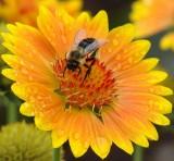 hm... A Gaillardia Flower