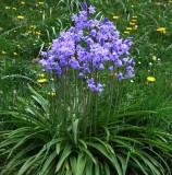 Bluebells & Dandelions. jpg