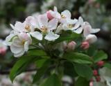 May Blossom .jpg