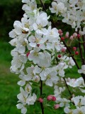 Crab Apple Blossom2
