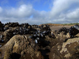 Mussels, Barnacles & Limpets