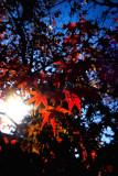 scarlet maple leaves 1