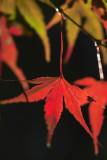 scarlet maple leaves 2