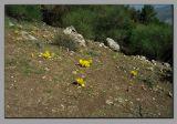 Winter daffodils on Mt. Meron. (Sternbergia )