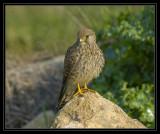 The common kestrel
