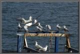 Seagulls at Tiberias hot springs