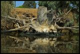 The sunken root (Yarkon river, Tel-Aviv)