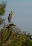 heron perch