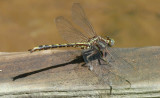 confusing clubtails