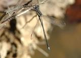 spreadwings