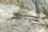 G. crassus female