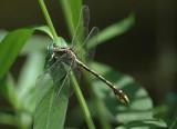 Gomphurus sandrius (Tennessee Clubtail)