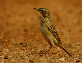 Richard´s Pipit (Anthus richardi)