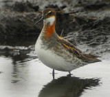 Red-necked Phalarope (Smalnäbbad simsnäppa)