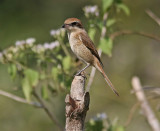 Brown Shrike (Lamius cristatus)