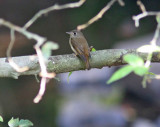 Brown-creasted Flycatcher (Muscicapa muttui)