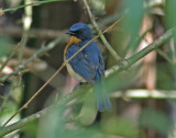 Tickell´s Blue Flycatcher (Cyornis tickelliae)