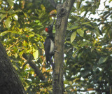 White-bellied Woodpecker (Dryocopus javensis)