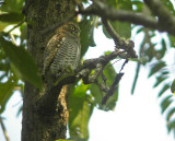 Jungle Owlet (Glaucidium radiatum)
