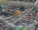 Indian Pitta (Pitta brachyura