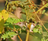 Common Tailorbird (Orthotomus sutoris)