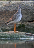 Lesser Yellowlegs (Mindre gulbena)