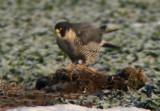 Peregrine Falcon (Falco peregrine)