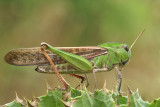 Ortotteri - Grasshoppers and crickets